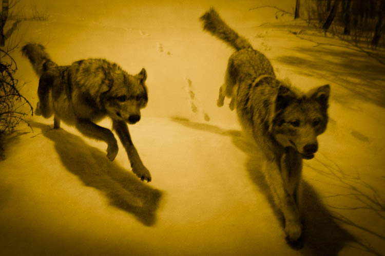 Night wolves, Canis lupus
