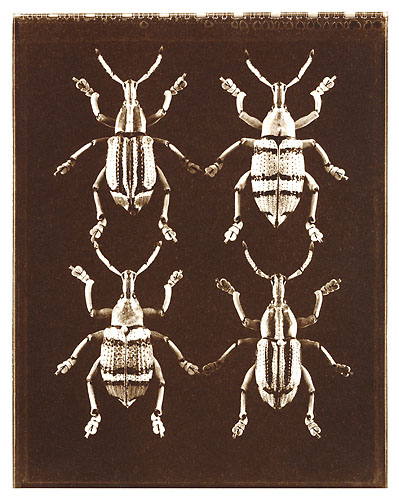 Four Weevils